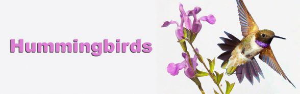 Hummingbirds | Beebower Productions