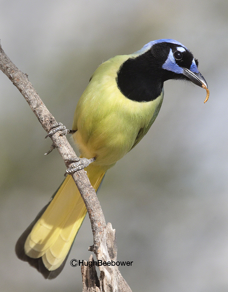 Green Jay with Worm   Beebower Productions