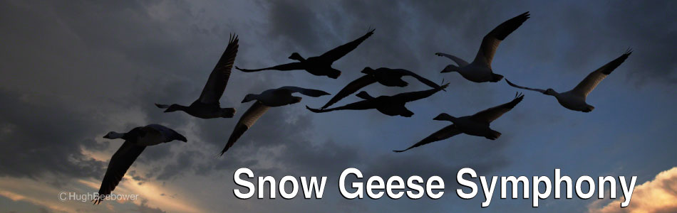 Snow Geese Symphony | Beebower Productions