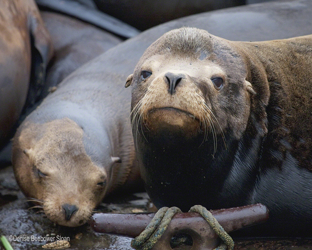 Soulful Sea Lion   Beebower Productions