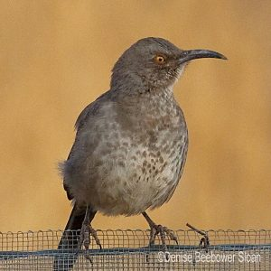Curve Billed Thrasher | Beebower Productions