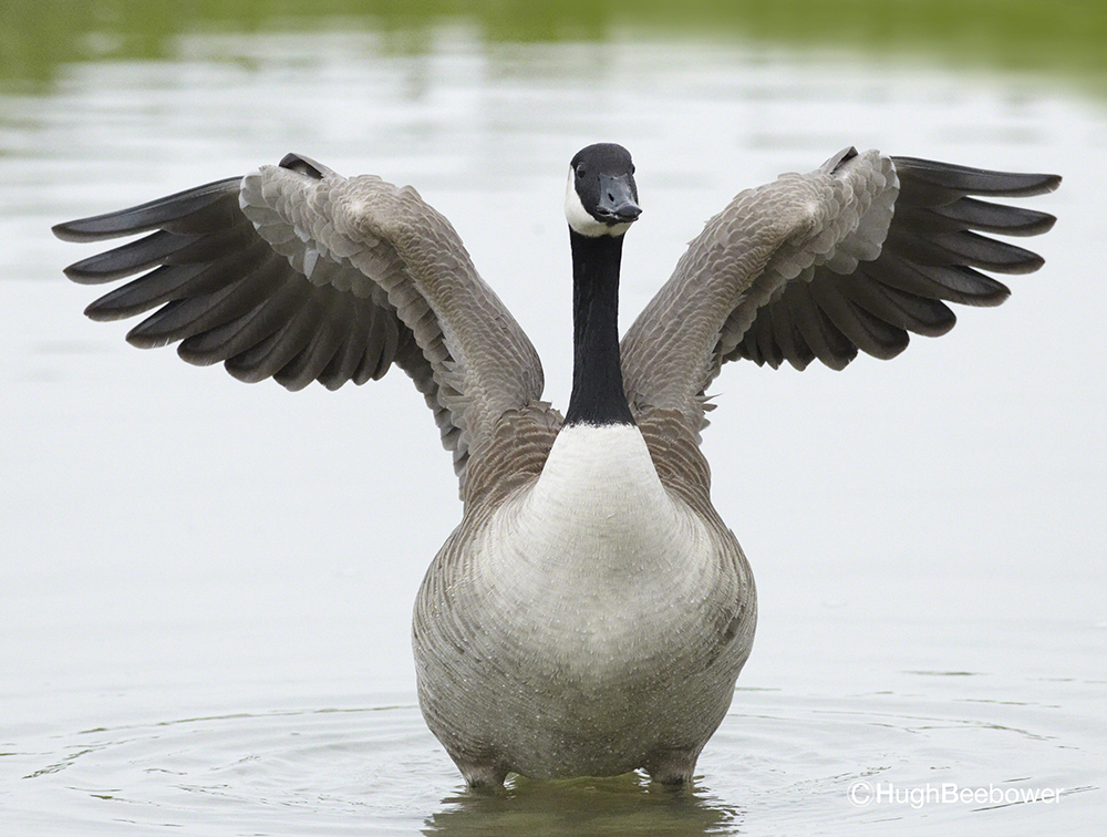 Flustered Goose | Beebower Productions