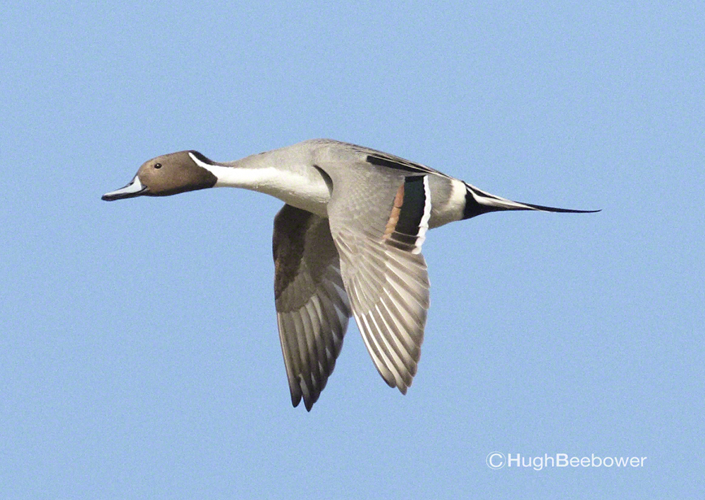 Pintail in Flight | Beebower Productions