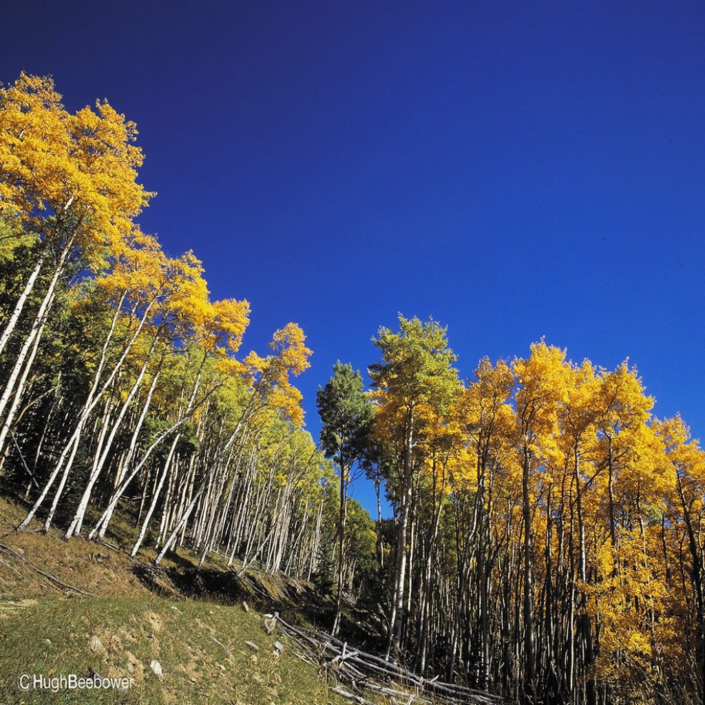 Fall Aspens | Beebower Productions