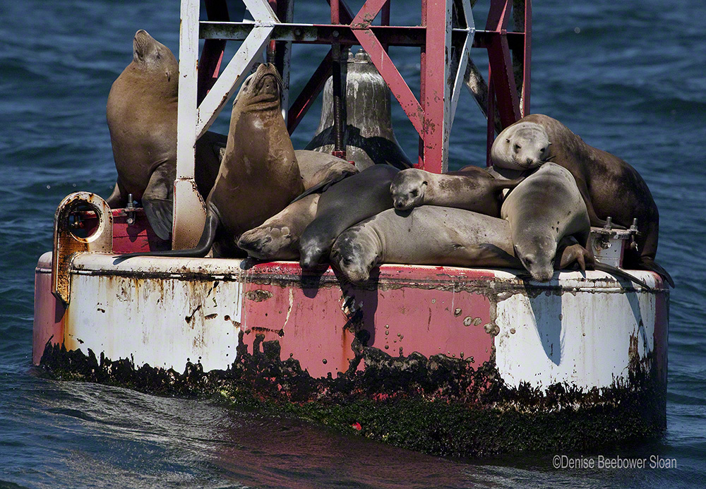 Sea Lions on a Buoy | Beebower Productions, Inc.