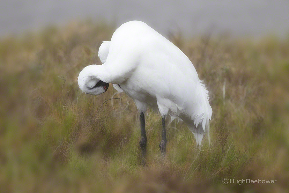 Whooping Crane Preening | Beebower Productions, Inc.