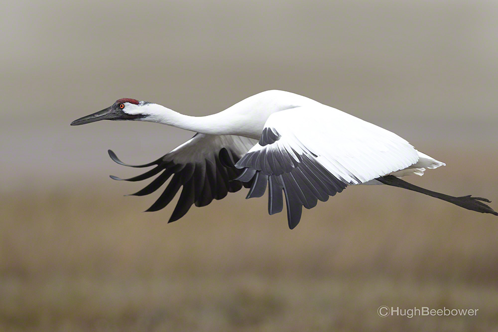 Whooping Crane in Flight | Beebower Productions, Inc.