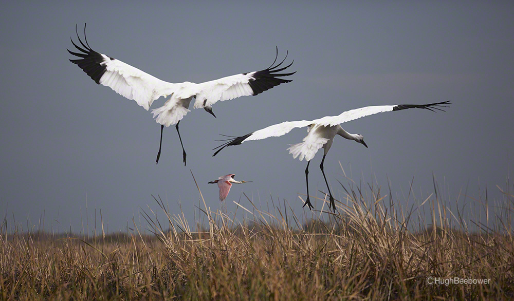 Whooping Cranes Landing | Beebower Productions, Inc.
